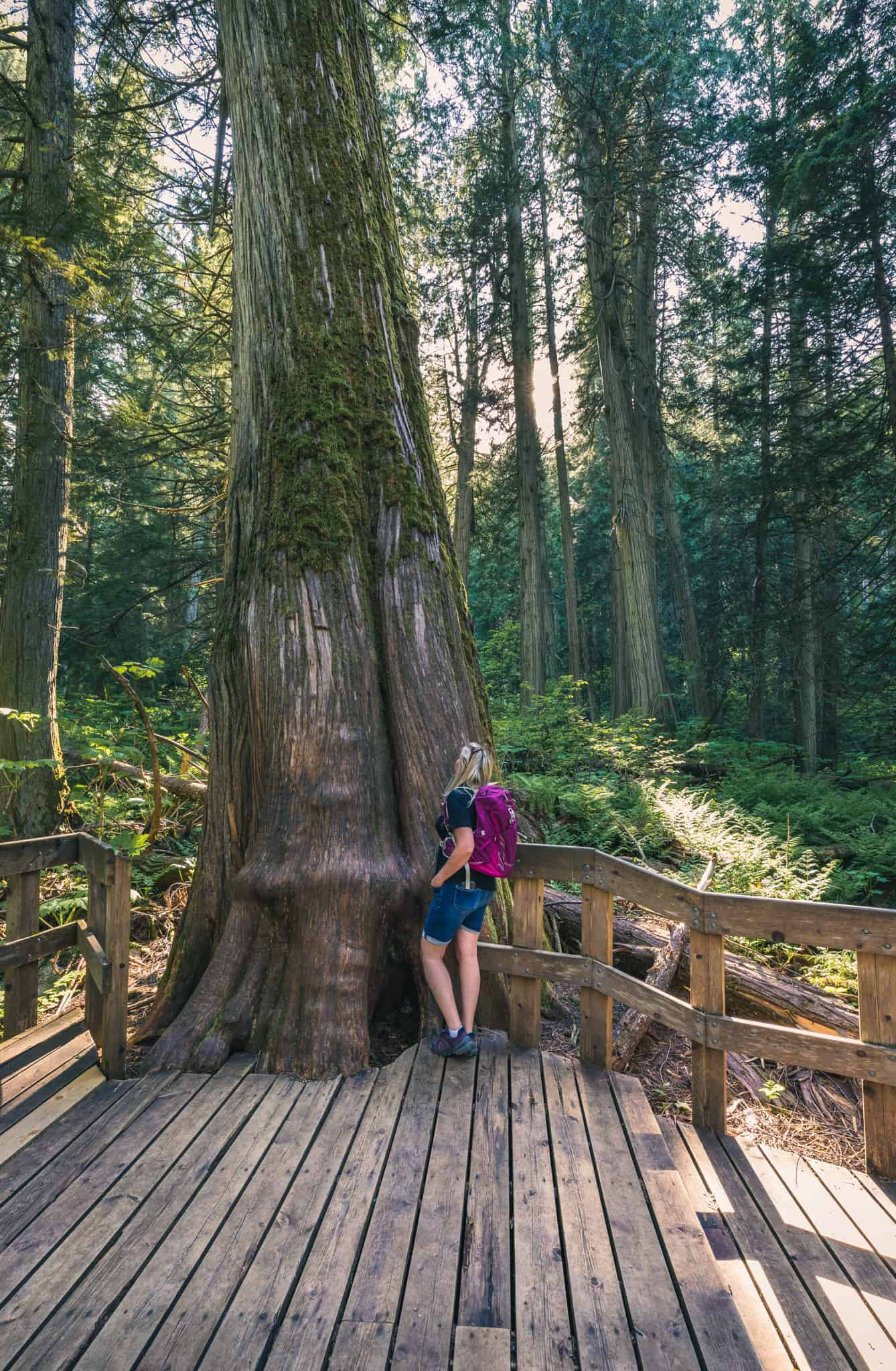 Giant Cedars Boardwalk Trail Revelstoke Old Growth